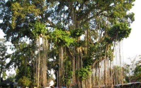 Mitos Tentang Pohon Beringin yang Bikin Masyarakat