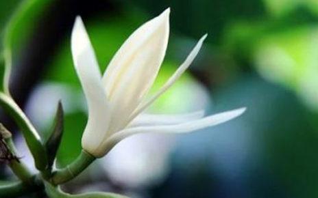 Bunga Kantil, Untuk Kesehatan Tubuh.