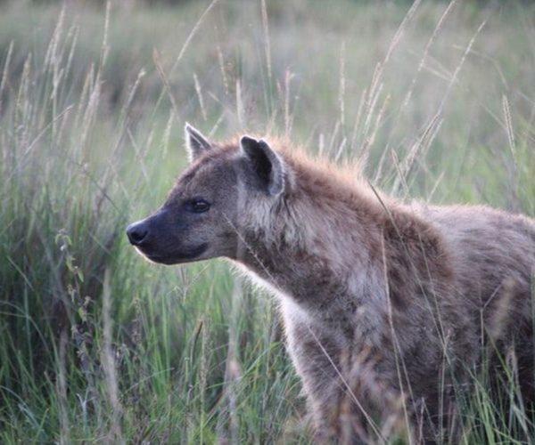 5 Fakta tentang Hyena, Predator yang Licik dan Buas