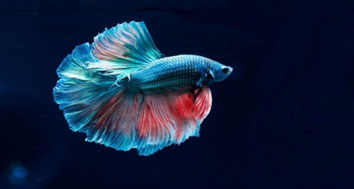 7 Jenis Ikan Cupang Paling Mahal di Indonesia, Tembus Rp25