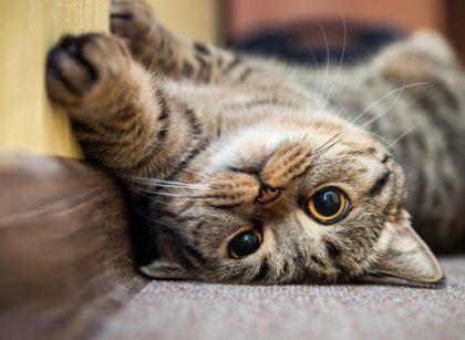 Bikin Haru, Kucing di Los Angeles Bertemu Pemiliknya Lagi Setelah 15 Tahun Hilang