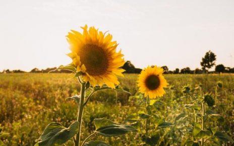 5 Cara Menanam dan Merawat Bunga Matahari Agar Tumbuh Sempurna